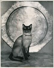 Chat Siamois c. 1940 - Ph. Mary Eleanor Browning - DIV 2014