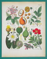 FLOWERS BOTANY White Water Lily Red Peony Achiote Tea - 1845 H/C COLOR Print