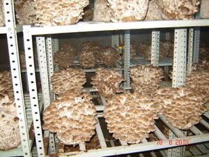 90gr/3.5(oz.) SHIITAKE mushroom-spores-mycelium-on-dried-seeds!