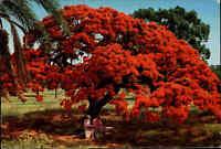 Australia Postcard Poinciana Tree Baum Baumblüte Australien Postkarte ungelaufen