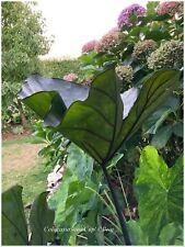 Colocasia Tea Cup ° Oreille d'elephant ° 1 plant