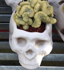BRAIN CACTUS Mammillaria elongata Cistata collector's item 120mm WHITE SKULL pot