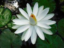 10 GRAINES DE NÉNUPHAR POILU BLANC (Nymphaea pubescens) SEEDS SEMILLAS SEMI