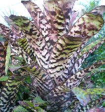 BROMELIAD AECHMEA ORLANDIANA - Excellent Colour Specimens!