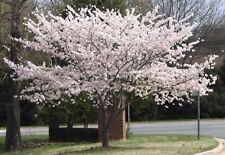 10 Japanese Yoshino Cherry Tree Seeds Usa Seller Pure White Spring Flowers