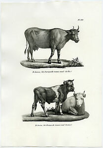 Antique Print-DOMESTIC COW-BULL-CATTLE-OX-PL. 162-Schinz-Brodtmann-1845