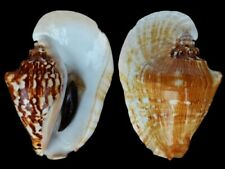 Strombus latissimus- Shells from all over the World NEW!!!