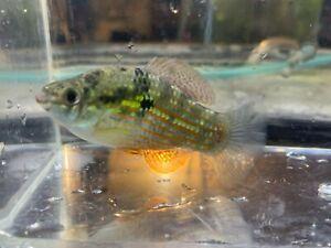 Florida Flagfish (Jordanella floridae) American Killifish - Live Aquarium Fish