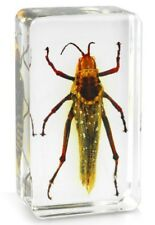Real Coffee Crasshopper Insect Paperweight Specimen Taxidermy