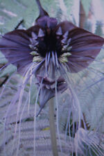 Semillas 5 fledermausblume, Tacca integrifolia, bat Flower #727