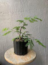 River Tamarind bonsai tree