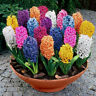 600pcs/lot Mixed Color Hyacinthus Orientalis Seeds Home Garden Plant Seed Decor