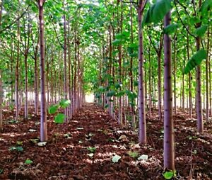 "EXTRA CLEAN Paulownia ""Shan Tong"" Hybrid Samen, Kiri Baum, Blauglockenbaum"