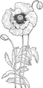 Flower - Flowers - Poppy #1 Unmounted Clear Stamp Approx 29x60mm