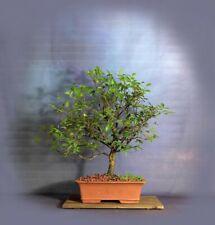 Cedar elm bonsai tree, Elm bonsai series from Samurai-Gardens
