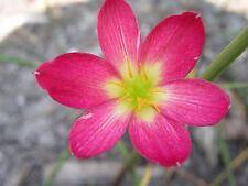 Rain Lily, Zephyranthes Katherinae var. rubra, 1 bulb, New, Rare, habranthus