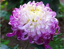 Chrysanthemum Morifolium 100 Seeds Light Purple Color Perennial Fragrant Flower