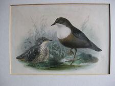 ANTIQUE BIRD PRINT ~ DIPPER & CHICK ~ J G KEULEMANS ~ Hand coloured