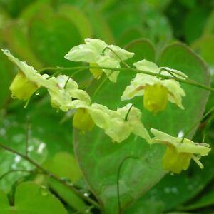 Blumixx Stauden Epimedium x versicolor 'Sulphureum' - Elfenblume