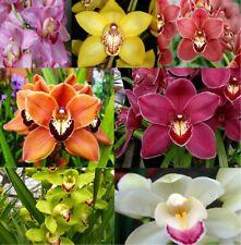 100Pcs Cymbidium Orchid Flowers Seeds Boat Orchids Mix Bonsai Potted Beautiful