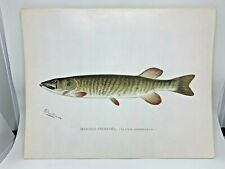 Original Antique Denton Fish Print Banded Pickerel