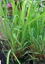 Herb-Lemon Grass-Cymbopogon flexuosus - 100 Semillas Frescas-economía Pack