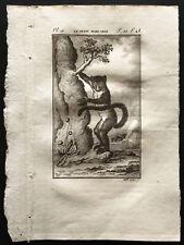 1799 - Buffon - Le petit maki gris - Gravure zoologie