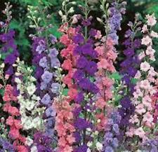 DELPHINIUM  GIANT IMPERIAL  MIXED  50 SEEDS PERENNIAL