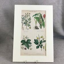 Antique Botanical Print Original Hand Coloured Poisonous Plants Flower Poison