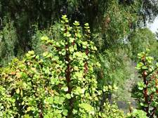 Portulacaria Afra Elephant Food Bush Succulent BOX of CUTTINGS Plant Small Jade