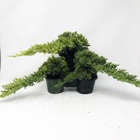 Small Windswept Juniper Pre-Bonsai 3-Pack (Outdoor) Create Your Own Bonsai Tree