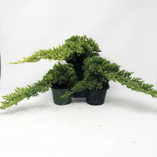 Small Windswept Juniper Pre-Bonsai 3-Pack (Outdoor) Create Your Own Bonsai Tree