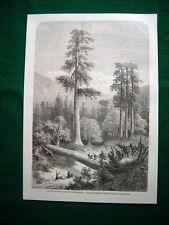 Gravure année 1860 forét de taxodium giganteum ou pins géants