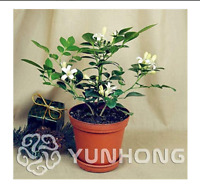 Murraya Exotica Seeds Potted Bonsai Courtyard Forest Tree Seeds 100seeds / Pack