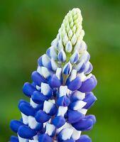 50 Seeds Lupine Russell Governor FLOWER SEEDS Lupine Seeds