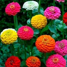 Zinnia Mix Color Flower Garden 25 Fresh Seeds Free Shipping in Usa