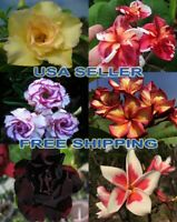 """BEST OF TWO WORLDS"" 25 Adenium & 25 Plumeria 'MYSTERY' Seeds USA Sale FREE Ship"