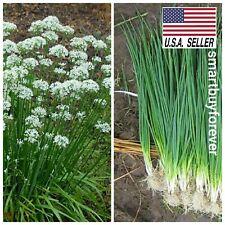 100+ Garlic Chives seeds allium Tuberosum Herb NON-GMO Heirloom Fast shipping US
