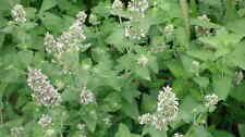 1000 Semillas de Menta de Gato (Nepeta cataria) bulk seeds