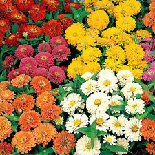 50 Zinnia Seeds Dreamland Mix FLOWER SEEDS