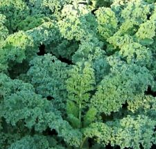 KALE SEEDS 300+ DWARF BLUE CURLED healthy VEGETABLE greens SALAD FREE SHIPPING