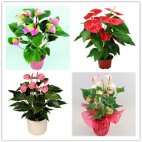 100 PCS Seeds Flowers Bonsai Pink Green Anthurium Andraeanu Potted Garden NEW C
