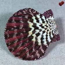 Pecten Gloriapallium Pallium, Thailand, 67,1 mm, LARGE, GREAT QUALITY, OLD COLL.