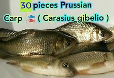 30 LIVE EUROPEAN PRUSSIAN CARP ( Carassius gibelio ) SHIPPING FROM 2021-05-01