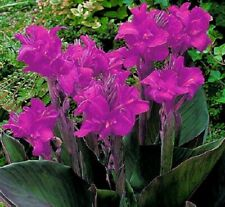 Canna Lily Bulbs Perennial Resistant Flower Dutch Purple Tropical Foliage Plant