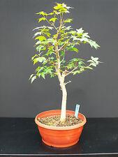 *rs Bonsai  Acer buergerianum  Dreispitzahorn Super für eigene Gestaltung  056