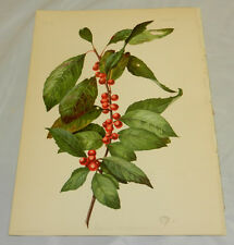 1901 Antique COLOR Prang Print/PRINOS VERTICILLATUS/Black Alder