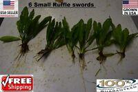 6 Small Ruffle sword  plants Easy Aquarium aquascaping planted tank low light