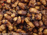 🔥 ERDMANDEL Tigernuss 10 Samen * Im Haus auf Balkon im Kübel Nüsse Nuß Mandel