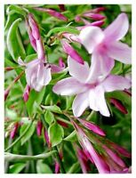Jasminum 4er Duft-Jasmin-Kombination officinale beesianum Stephanense arabischer